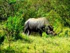 Кения Черный носорог